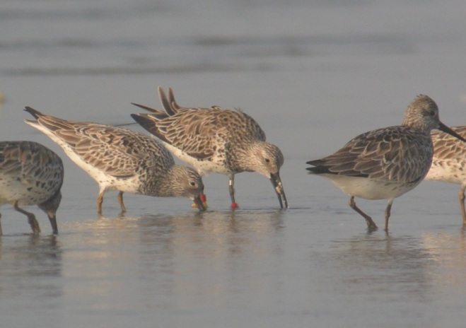 Great Knot w transmitter photo Ginny Chan