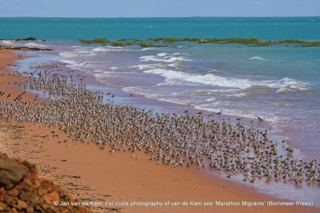 Waders Roebuck Bay, Broome, W.Australia