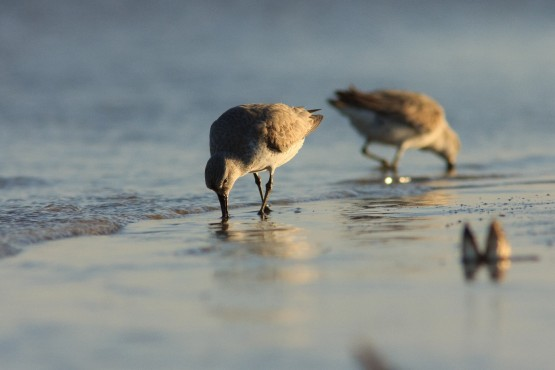 Red Knots JeroenOnrust