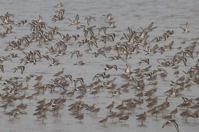 Part of the flock of Blcak-tailed Godwits