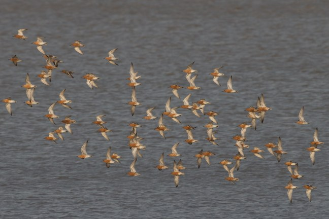 Red Knot fling in to foarge