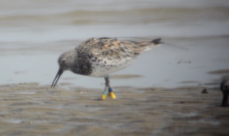Great Knot 833 in Jinjiang. Photo: Ginny Chan