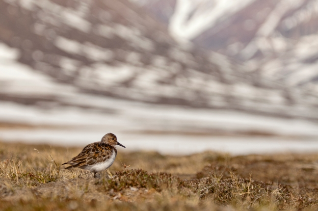 Sanderling Zackenberg 16 June 2017_in_landscape