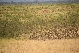 26a dsc_1406 roodbekwevers rijstvelden bij np djoudj 2 december 2018