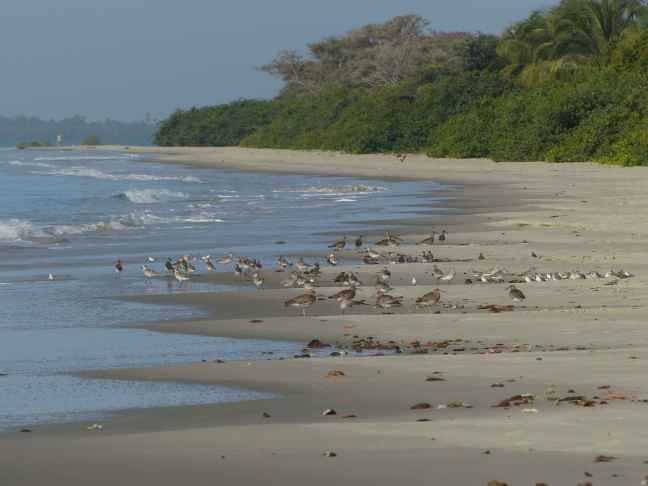 Roosting_shorebirds_Guinea_Bissau