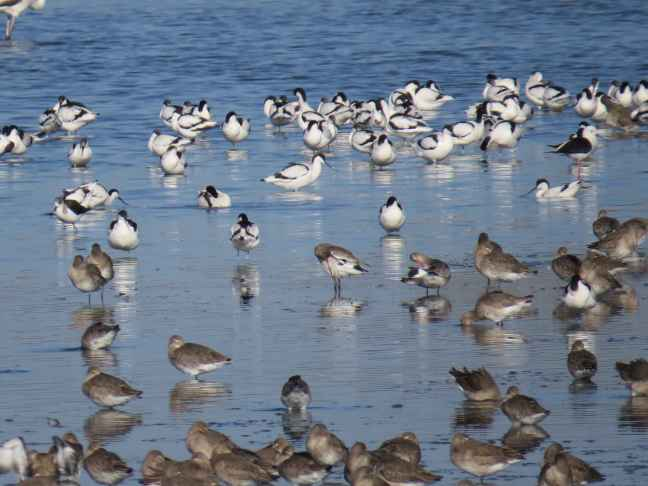 Roosting_shorebirds_Tagus_estuary